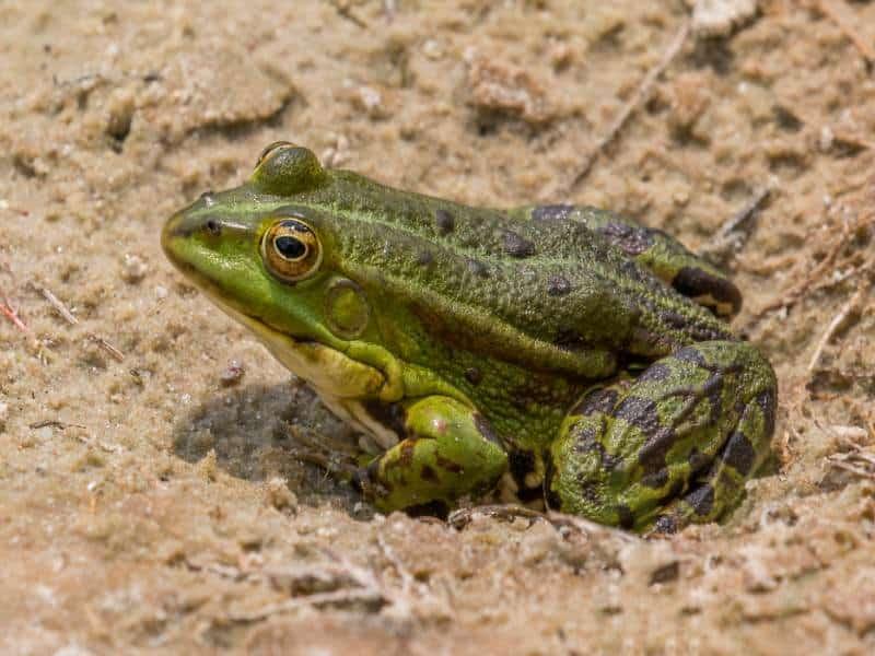 Nằm mơ thấy ếch mang đến nhiều điềm báo thú vị
